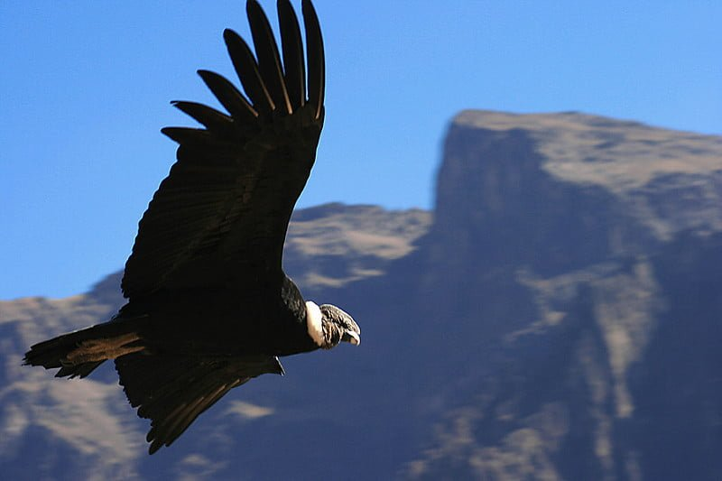 Photo:Condor By:Valdiney Pimenta