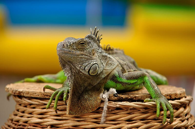 Photo:Игуана на показ // Iguana on display By:kaladan