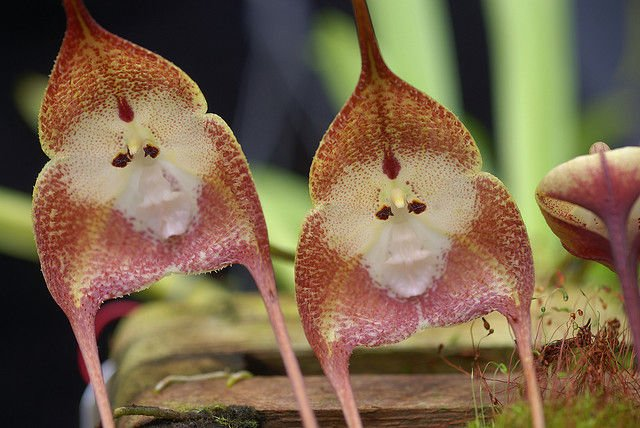 monkey orchid 2