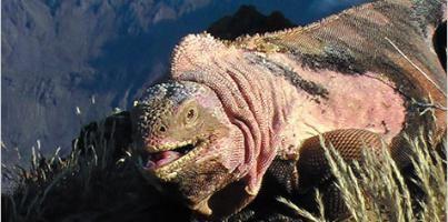 galapagos_iguana_rosada.jpg